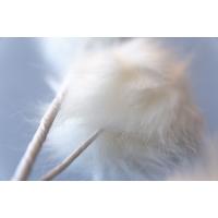 White Pompoms on Stem