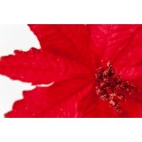 Poinsettia en velours rouge