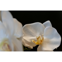 Orchidée blanche en pot de céramique, 22''