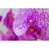 Orchidée mauve en pot de céramique, 28''