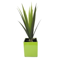 Indoor agave tree in square green planter
