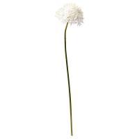 White Allium, 30''
