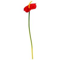 Anthurium rouge sur tige 25''