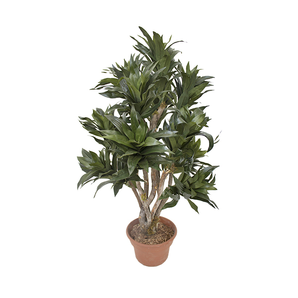 Arbre artificiel dracaena fragrans 3 39 d cors v ronneau for Arbre artificiel