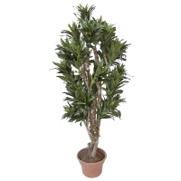Arbre artificiel, Dracaena fragrans 5'
