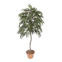 6' Artificial Ficus Ali