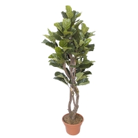 6' Artificial Ficus lyrata