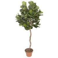 7' Artificial Ficus lyrata