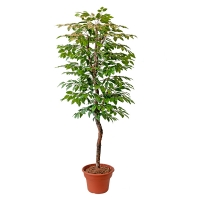 Arbre artificiel, rose leaf 6'