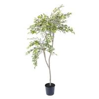 Mini Foliage Ficus Tree, 6'