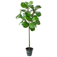 Ficus lyrata en pot, 5'