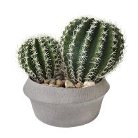 Duo de cactus barrel