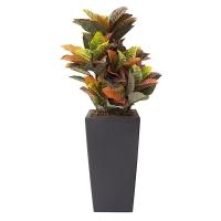 Plant de croton extérieur 40''