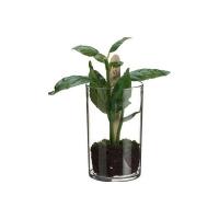 Basilic en pot 7''