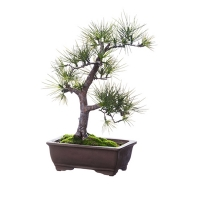 Bonsai de pin 20''