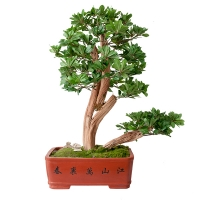 Bonsaï de pittosporum dans pot traditionnel, 33''
