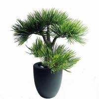 Bonsai pin dans un pot en plastique noir 14''