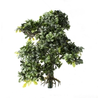 Bonsai boxwood 16''