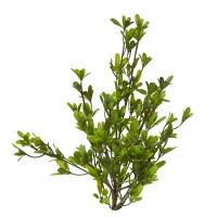 Pittosporum stem int./ext.1.4 feet