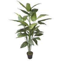Plant de canna extérieur 70''