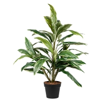 Plante cordyline 42''
