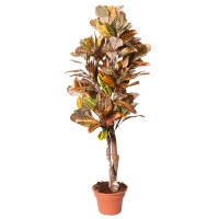 Croton Plant 5' 26'' diameter