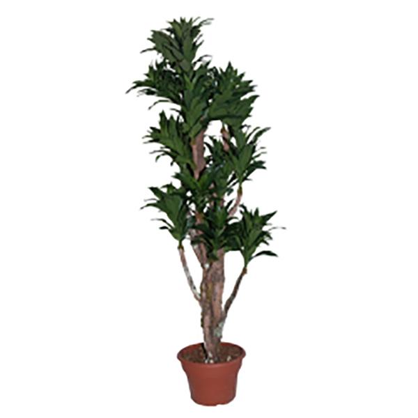 arbre artificiel dracaena fragrans 5 39 d cors v ronneau. Black Bedroom Furniture Sets. Home Design Ideas