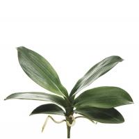 Feuillage d'orchidée phalaenopsis vert 8''