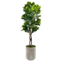 Ficus lyrata de 7' en pot
