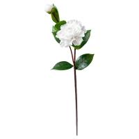 White Camellia, 23''