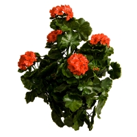 Geranium rouge en polyblend 26