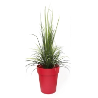 River grass in red round planter, int./ext.