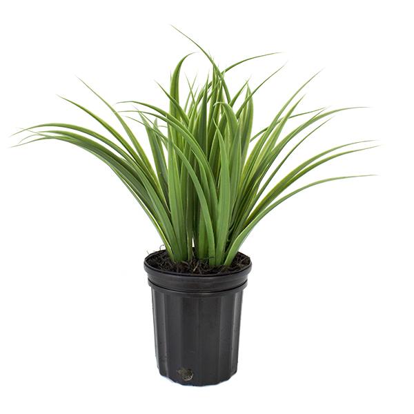 Herbes vertes en pot de culture noir 18 x 12 39 39 d cors for Plantes vertes exterieur en pot