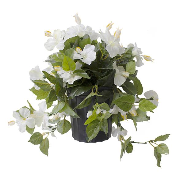 Hibiscus blanc en pot de culture noir 17 x 16 39 39 d cors for Hibiscus entretien exterieur