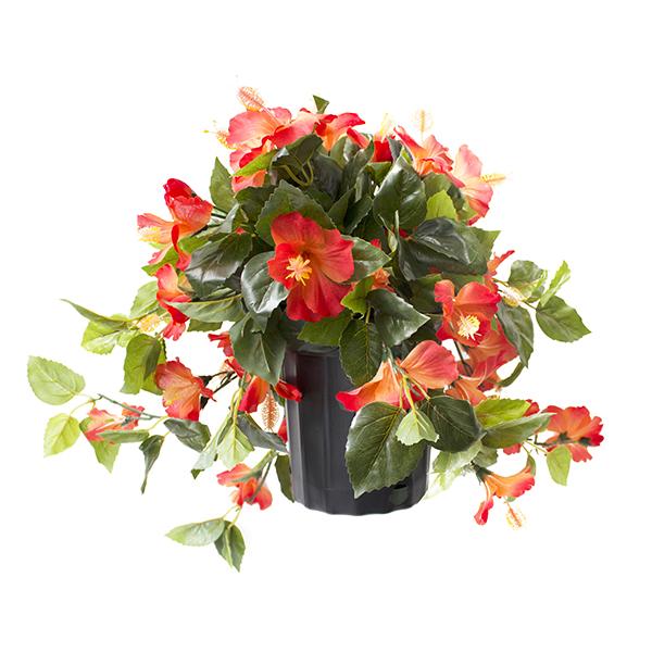 hibiscus exterieur en pot perfect hibiscus syriacus marina conteneur with hibiscus exterieur en. Black Bedroom Furniture Sets. Home Design Ideas