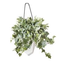 Plant de lierre dans pot suspendu blanc 17 x 19''.