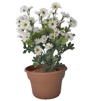 Margerites blanches en pot 11x11x18''
