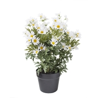 White daisies in black plastic planter, 12 x 17''