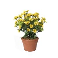 Marguerites jaune en pot