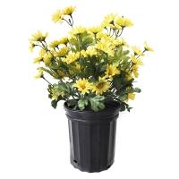 Maguerites jaunes en pot de culture noir 12 x 17''