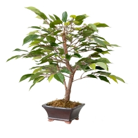 Mini bonsaï de ficus
