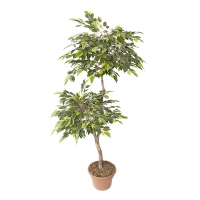 5' Artificial mini ficus tree, green and lime