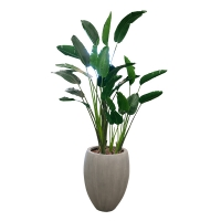 Potted Traveller Palm