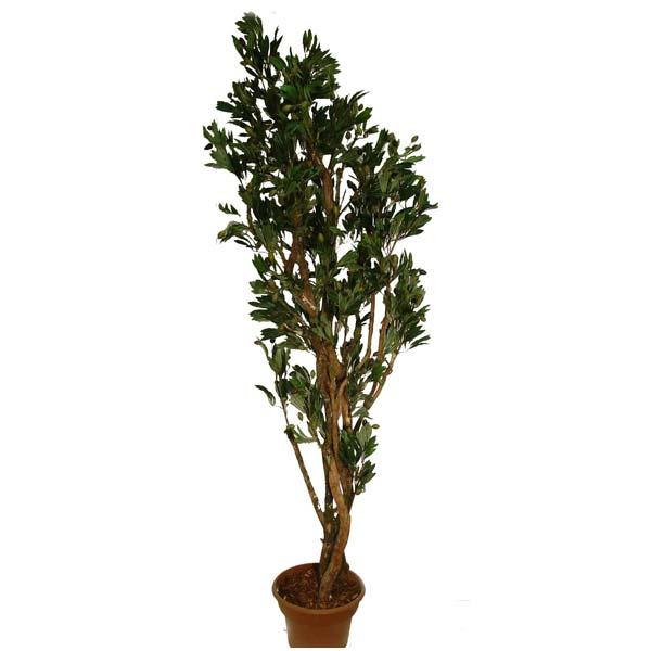 arbre artificiel olivier 7 39 d cors v ronneau. Black Bedroom Furniture Sets. Home Design Ideas
