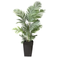 Areca Palm in black planter 6,5'