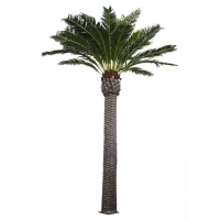 Date palm tree 20 feet, 2 years warranty