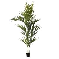 Palmier kentia 8' x 6'