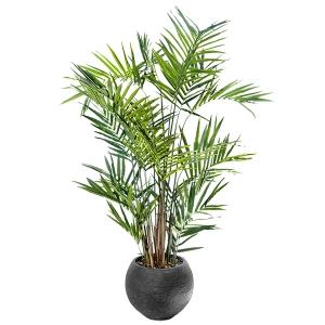 Palmier kentia de 8' en pot