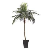 9.5' Phoenix Palm tree