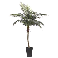 6' Outdoor phoenix palm tree, 2 years warranty